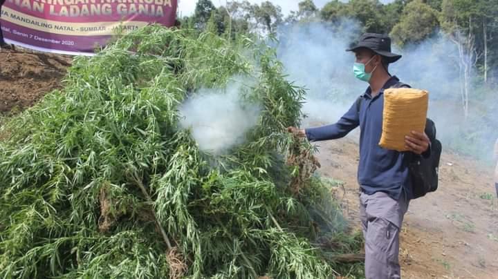 Pemusnahan 5 Hektare ladang ganja milik tersangka Mukri